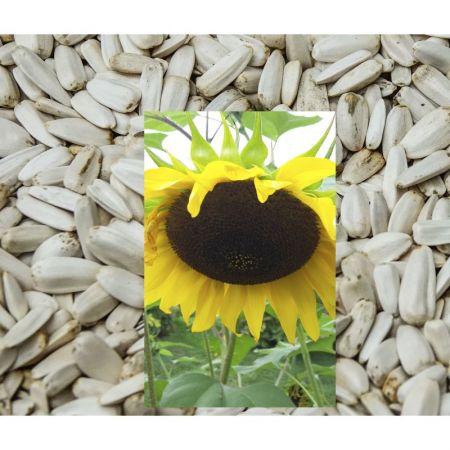 Sonnenblumen medium weiß 500g 01001
